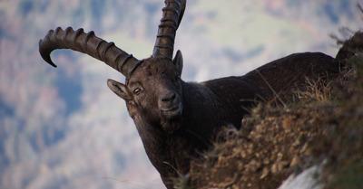 Chartreuse :  que se passe t-il pour les animaux au printemps?