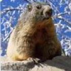 la marmotte dromoise